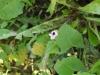 Hyoscyamus niger flower, convolvulus, trifolium & taraxacum