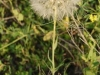 ?? - has very large dandelion like seed heads