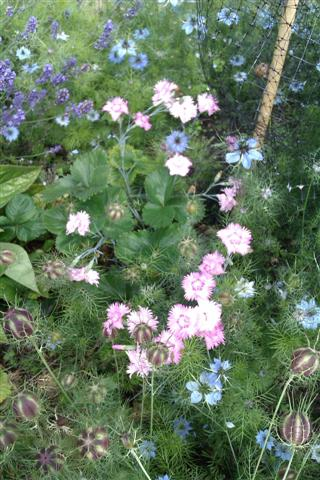 Pinks and love-in-a-mist
