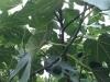 Fattening figs
